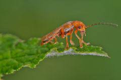 Soldier Beetle Stock Image