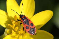Soldier beetle Stock Images