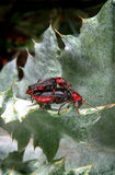 Soldier beetle beetles mating on a leaf Royalty Free Stock Images