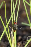 Soldier beetle on grass in garden. Soldier beetle Cantharis fusca on grass in garden. Close up royalty free stock photos