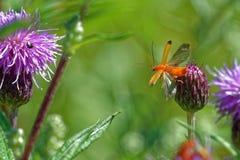 Soldier beetle, Cantharis livida Stock Image