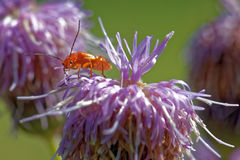 Soldier beetle, Cantharis livida Royalty Free Stock Images