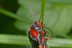 Soldier beetle Royalty Free Stock Photo