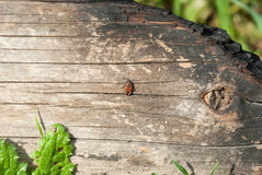 Soldier beetle crawling on charred logs. Wallpaper stock photography