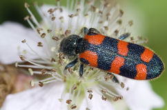 Soldier beetle feeding Stock Image