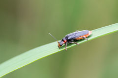Soldier beetle / Cantharidae Royalty Free Stock Images