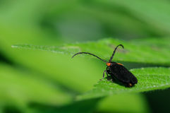 Soldier Beetle on a Green Leaf. Black Soldier Beetle Standing on a Green Leaf Stock Image