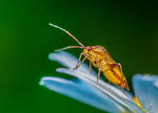 Soldier Beetle Royalty Free Stock Images