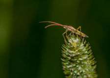 Soldier Beetle Royalty Free Stock Image