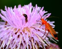 Soldier Beetle Stock Photo