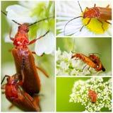 Soldier-beetle (rhagonycha-fulva) Stock Image