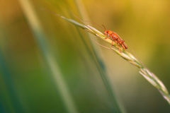 Soldier beetle. Rhagonycha  on grass Royalty Free Stock Photo