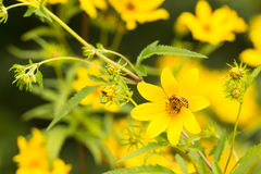 Soldier beetle on thin leaved sunflower Stock Image