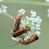 Soldier Beetles. Three soldier beetles (rhagonycha fulva) on the white flower Royalty Free Stock Images