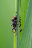 Soldier beetles / Cantharides Stock Photos
