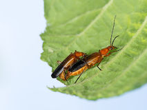 Soldier beetles - Cantharis rustica, mating  leaf. Nature spring Royalty Free Stock Photography
