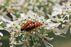 Soldier Beetles Royalty Free Stock Photos