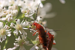 Soldier Beetles Stock Photos