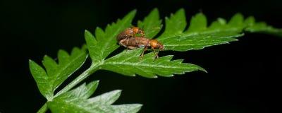 Soldier beetles copulating in ecstasy stock images