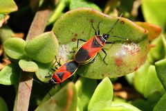 Soldier Beetles fighting (mating) Royalty Free Stock Image