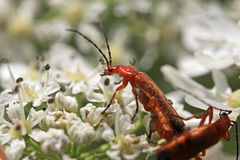 Soldier Beetles Royalty Free Stock Photo