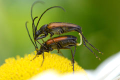 Soldier Beetles mating Royalty Free Stock Photo