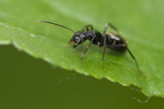 Soldier Black Ant Stock Photo