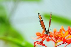 Soldier butterfly in aviary, Florida Stock Images