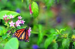 Soldier butterfly on pink flowers in aviary Stock Photo