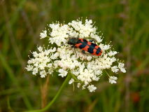 Soldier or Checkered Beetle. (Trichodes alvearius) on a dropwort wild flower Royalty Free Stock Image