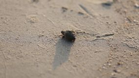 Soldier crab comes out of the shell ,along the beach background stock footage