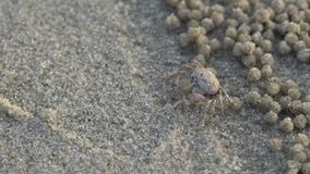 Soldier crab or Mictyris Dotilla wichmani De Man. Small crabs eat humus and small animals found at the beach as food. Not very f stock video footage