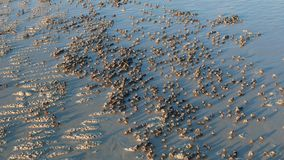 Soldier crabs marching on white sand
