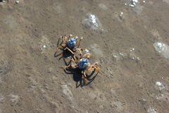 Soldier Crabs Royalty Free Stock Photos