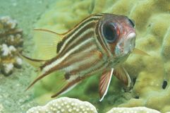 Soldier fish. Looking at camera royalty free stock images