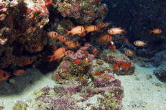 Soldier Fish. A school of soldier fish hides underneath a coral head royalty free stock photography