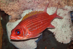 Soldier fish. Close-up Royalty Free Stock Images