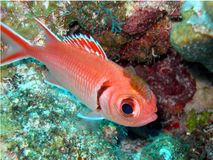 Soldier fish and parasite rider stock images