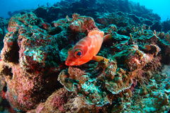 Soldier fish Royalty Free Stock Images