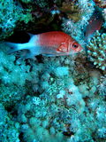 Soldier Fish Seychelles. Soldier fish in seychelles with Xenia and acropora Stock Images