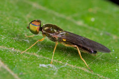 Soldier fly Royalty Free Stock Image