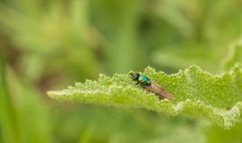 Soldier Fly on stingy leaf Stock Image