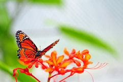 Soldier (queen) butterfly on blurred background Stock Photos