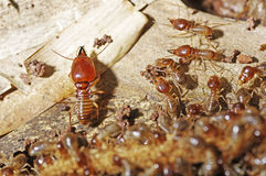 Soldier termite Royalty Free Stock Image