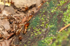 Soldier termite guarding the worker termites Royalty Free Stock Photo