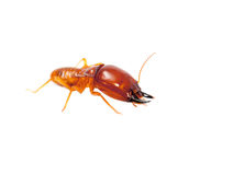 Soldier termite. Macro shot and isolated on white Royalty Free Stock Photography
