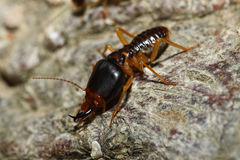 The soldier termite of soil eater Royalty Free Stock Image