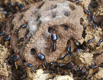 Soldier termite of soil eaters Royalty Free Stock Image