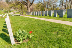 Soldier Tombs in Montreal Cemetery. With a red tulip in springtime royalty free stock photos