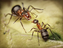Soldier and worker ants, danger. Forest ants, worker and soldier Stock Photo